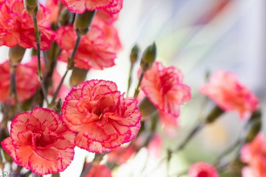 گل شاخه ای میخک در رنگ های مختلف