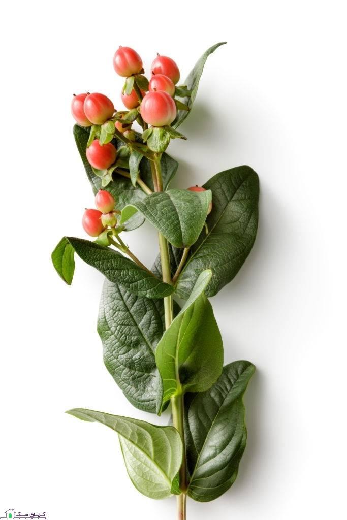 گل شاخه ای راعی یا هوفاریقون