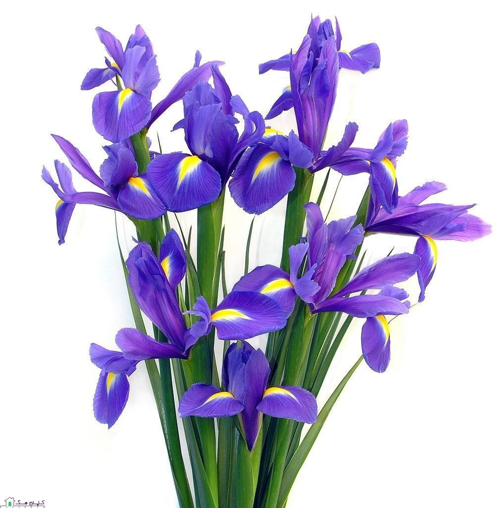 انواع گل شاخه ای زنبق