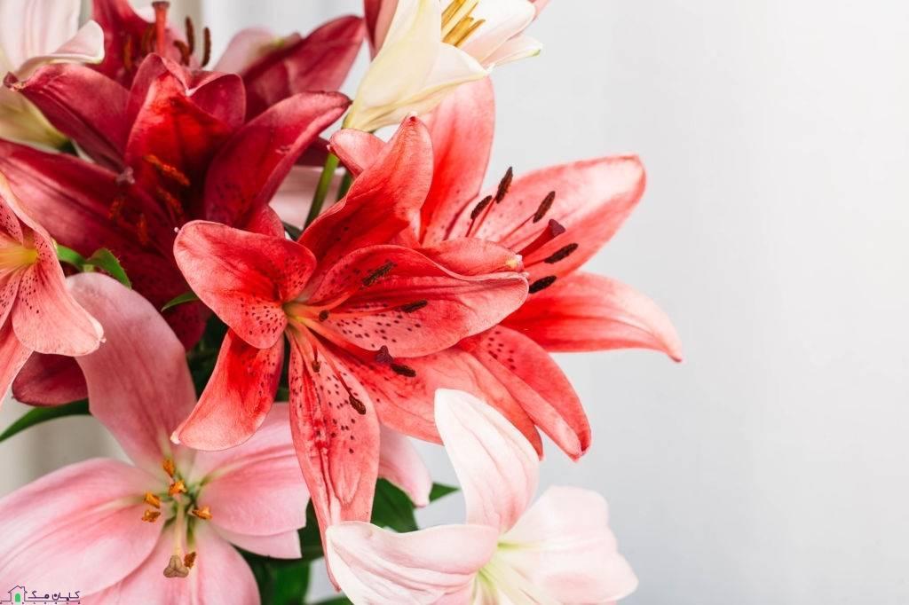 گل شاخه ای لیلیوم